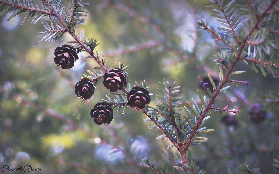 Eastern Hemlock-Spruce Tree