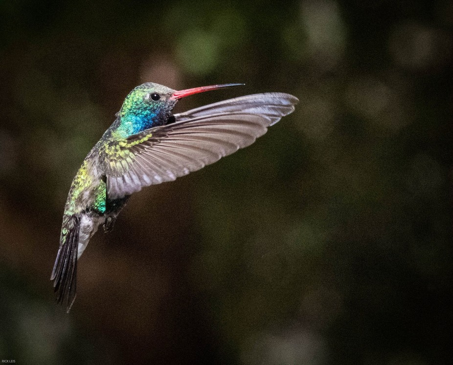 We stayed at a cabin at the Santa  Rita Lodge Inn in Madera Canyon to have easy access to a variety of animals. I spent a weekend photographing hummingbirds, it took about 200 shots to get about 20. I took several thousand photographs. Lens: Tamron 150-600 g2