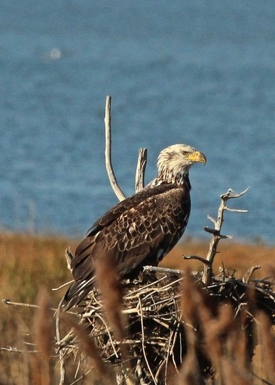 Bald Eagle Occupying a Osprey Nest