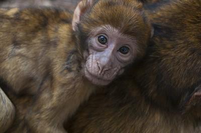 human eyes, monkey face