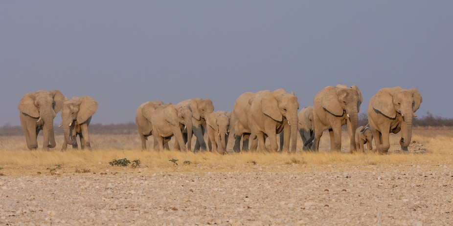 Elephant Herd Walking