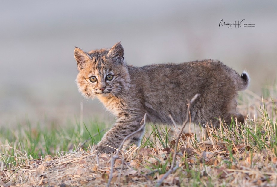 I came across an adult Bobcat and her kitten a couple of days ago, tonight I returned to the same...