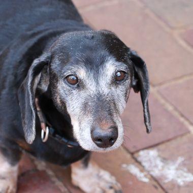 Asjas the weenier Doggy