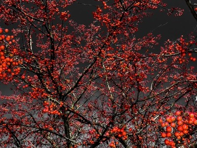 selective color red berries