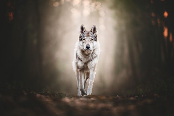 The Wolfdog by ceciliazuccherato - Wolves Photo Contest