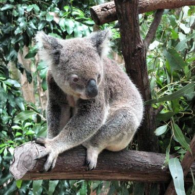 Koala at Currumbin