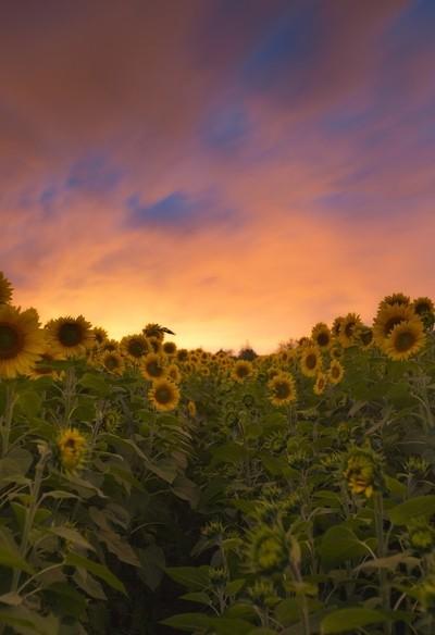 Sun(set)flower No. 2