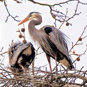 Nesting pair of blue heron at a local rookery