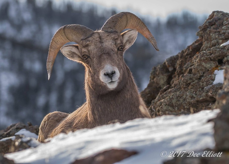 Hiked up a snowy mountain in 20 degree weather for this shot. This young Ram was laying on the ri...
