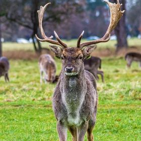 One of the best things about the Phoenix Park, aside from the fact that it's FREE, is that you walk amongst the many wild deer who live in t...