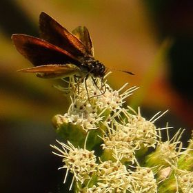 TBT Least Skipper feeding on White Snakeroot during the early fall.  #trailsend #leastskipper #butterfly #whitesnakeroot #wildflowers #macro #clo...