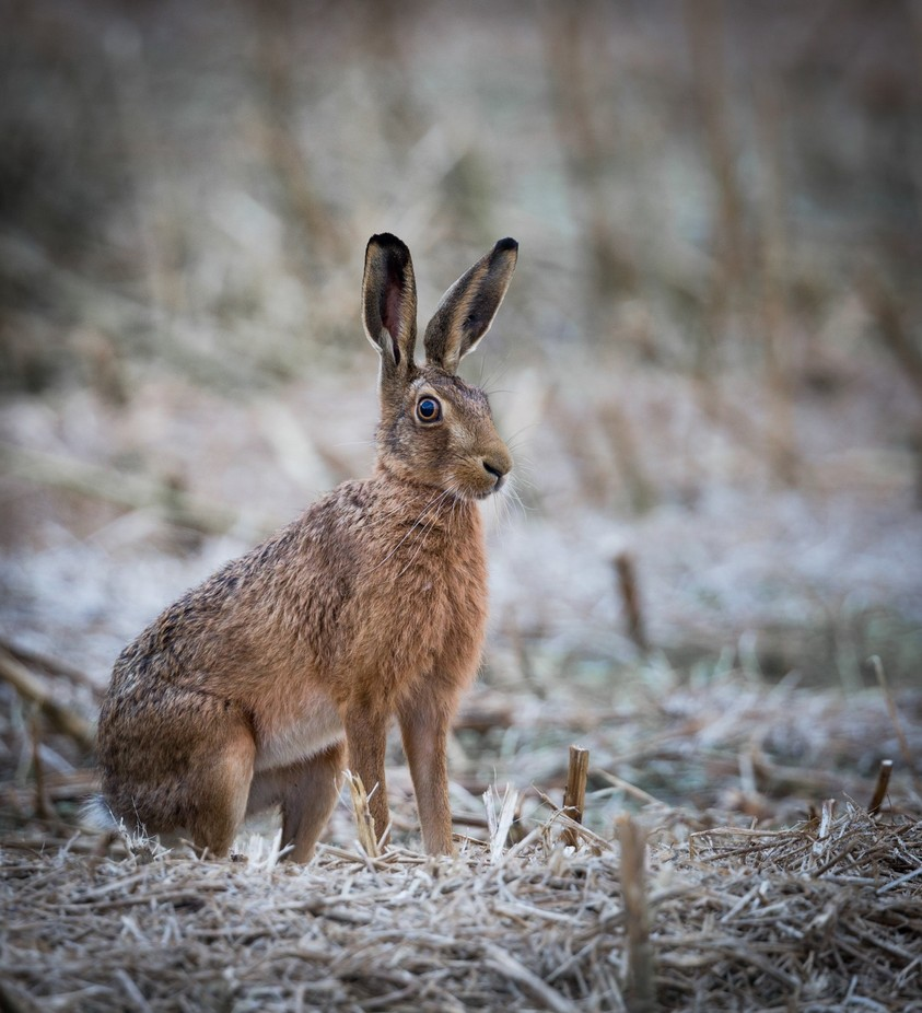 winter hare by jennycottingham - Monthly Pro Vol 37 Photo Contest