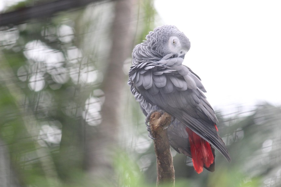 African Grey Parrot Looking For Something In His Feathers