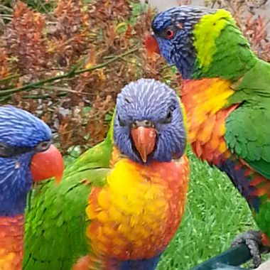 Lorikeets at Currumbin II