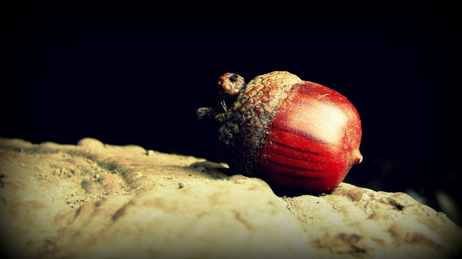 This acorn is sitting on a huge shelf fungus that grows under the roots of a giant oak. Some litt...