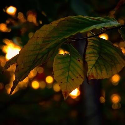 Beech leaves at sunset.  #trailsend #beechtree #leaves #sunset #bokeh #wander #woods #outthebackdoor #backyardnature #beautyinnature #adk #naturalnewyork #newyorkoutdoors #adirondackexplorer #canon_photos #canonwhatelse #got_greatshots #marvelouz_world #i