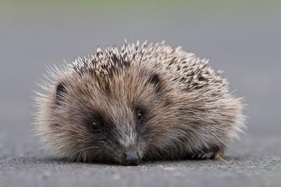 Hedgehog on drive