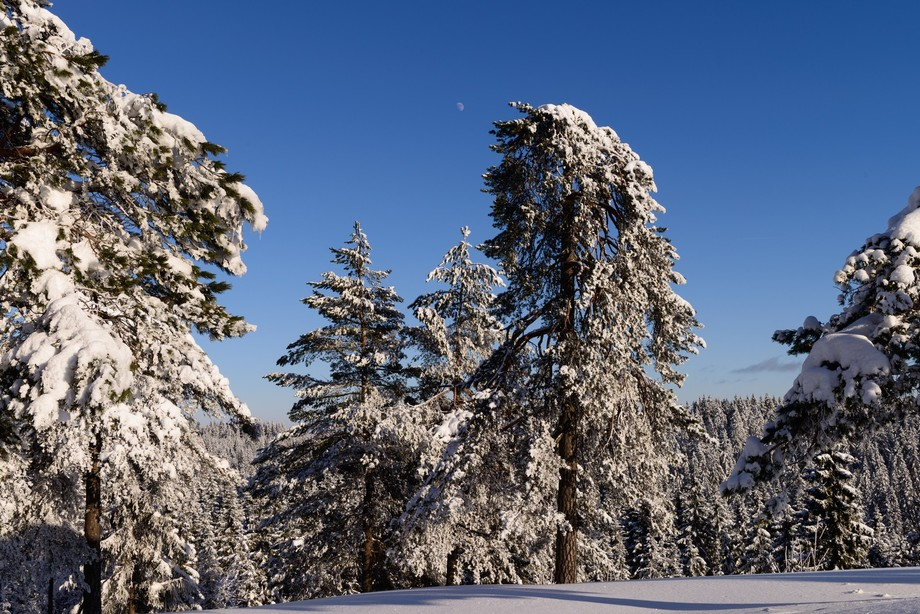 These trees are heavy with fresh snow from the night before.  Hard to beleive but this location is only a couple of km on skis from the famous Holmenkollen ski jump above Oslo.