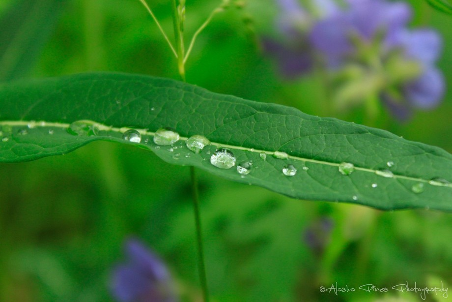 A few raindrops left on the leaves of a wild geranium plant