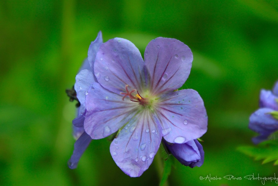 A wild geranium with a few leftover raindrops from the morning's shower.