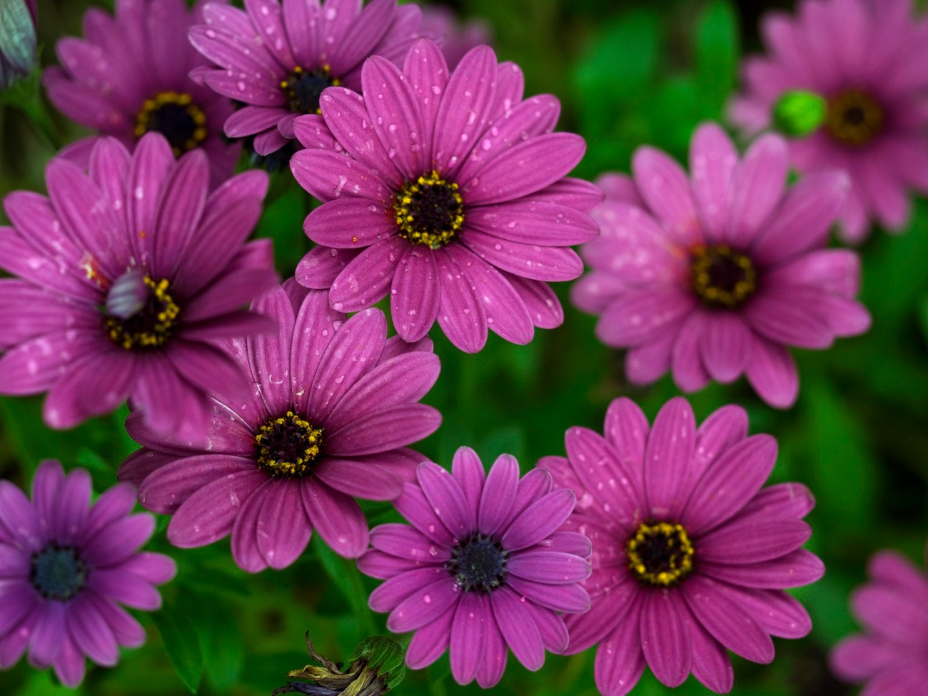 Just some purple daisys in macro