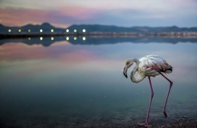 Flamingo in Salinas de Ibiza
