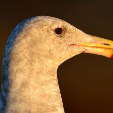 Gull too