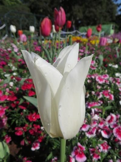 Toowoomba flower show