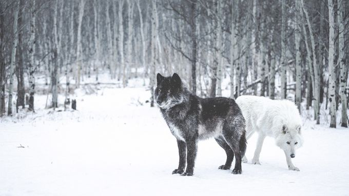 Winter Wolves  by byrnephotography - Wolves Photo Contest