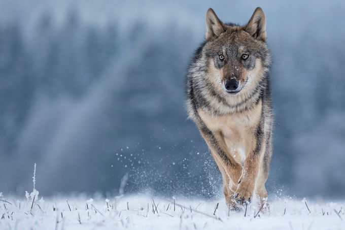 Wolf running by vladcech - Social Exposure Photo Contest Vol 13