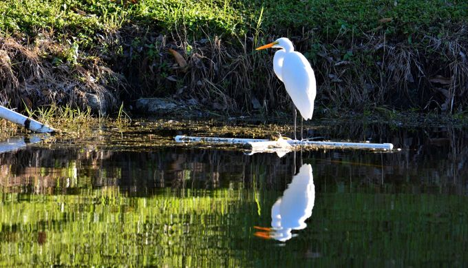 Early in the morning as the sun goes up, this white egret is resting ashore and displaces a beautiful reflection on the water.