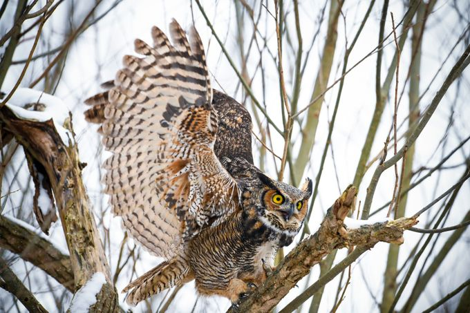 Great Horned Owl by JustinRussoPhotography - Social Exposure Photo Contest Vol 13