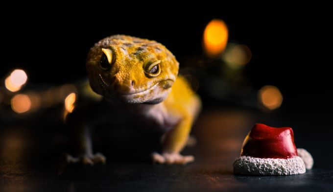 How was your Christmas? by akphotographystudio - Reptiles Photo Contest