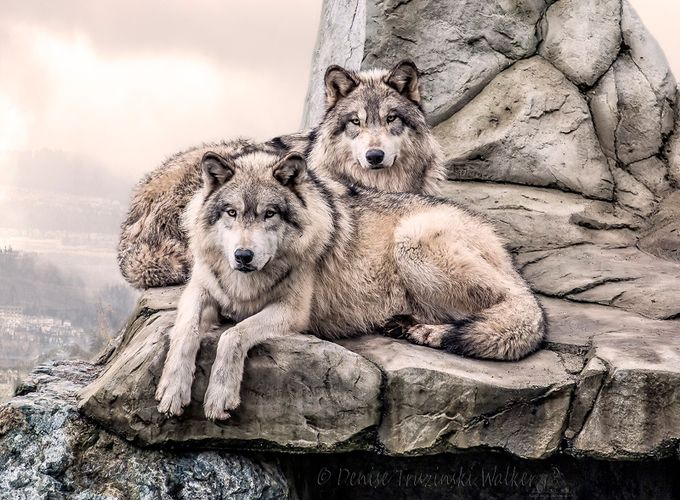 Brothers 0125 by denisewalker - Wolves Photo Contest