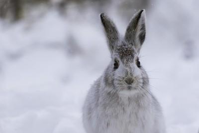 Wintery rabbit