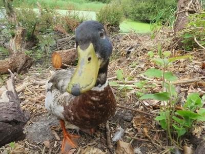 Happiest wild duck I've ever met