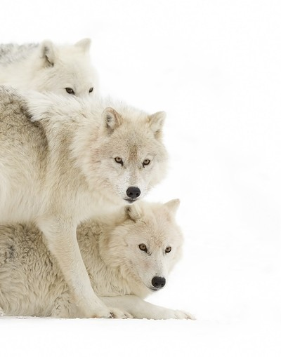 Arctic wolves (Canis lupus arctos) standing in the winter snow