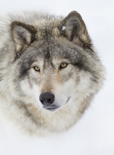 Timber wolf (Canis lupus) portrait closeup in winter snow in Canada