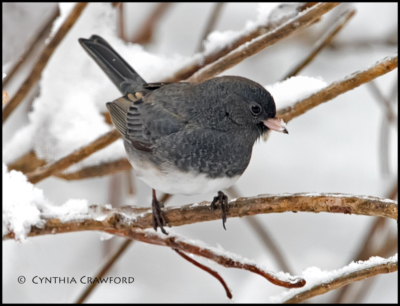 We had a lot of snow...and a lot of Dark-eyed Juncos! They are a hardy lot, hopping around in the snow. This is probably a young one- not as dark as some.