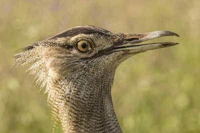The houbara bustard´s head detail