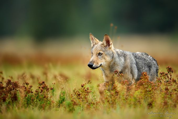 Young  euroasian wolf by duben - Wolves Photo Contest