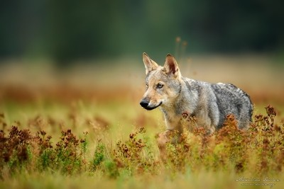 Young  euroasian wolf