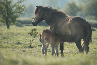 Wild horses and cold autumn morning