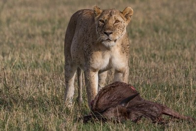 Lioness, flies and kill