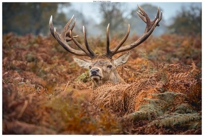 The Curious Stag