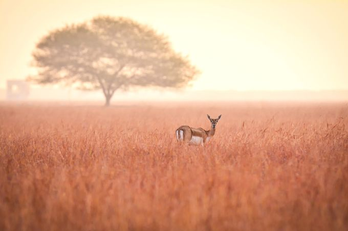 Blackbuck, the Look by avkash - Rule Of Seconds Photo Contest vol1