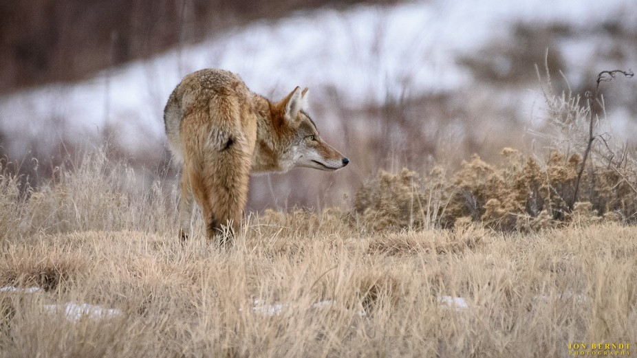 A coyote tries to sniff out some food in the grass.