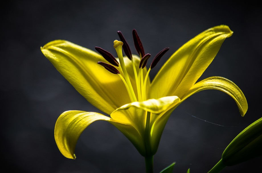 Another from my lily collection this year.  The light was right and the lily posed beautifully.