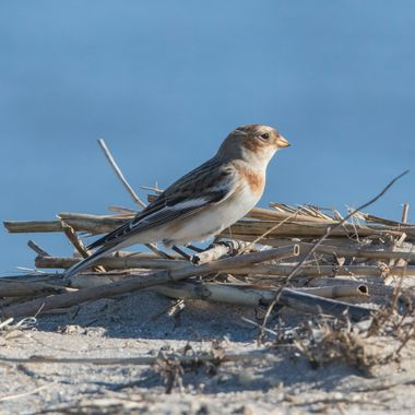 Hadn't seen a snow bunting in years, they arrived at our beach a head of the snowy owl(s).