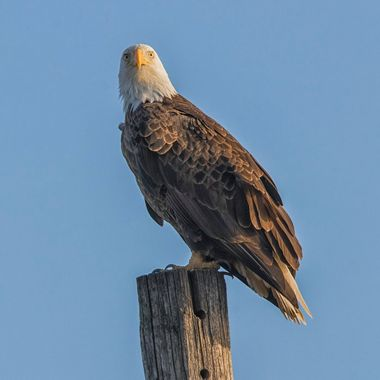 Looking for the snowy owl - this Eagle has his spot.